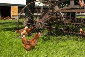 Hens around Amish farm implement