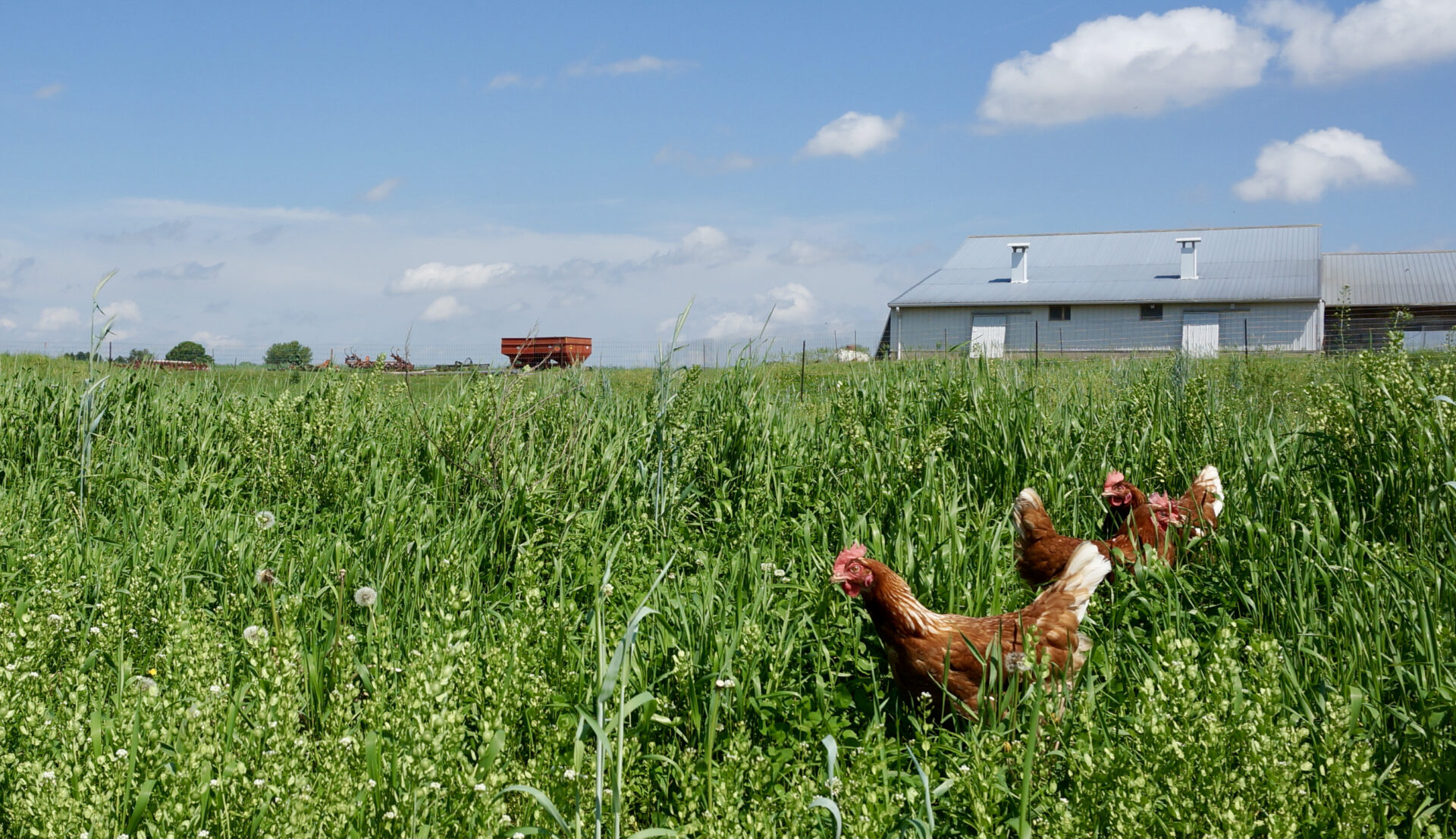 Pastured hens in a farm field