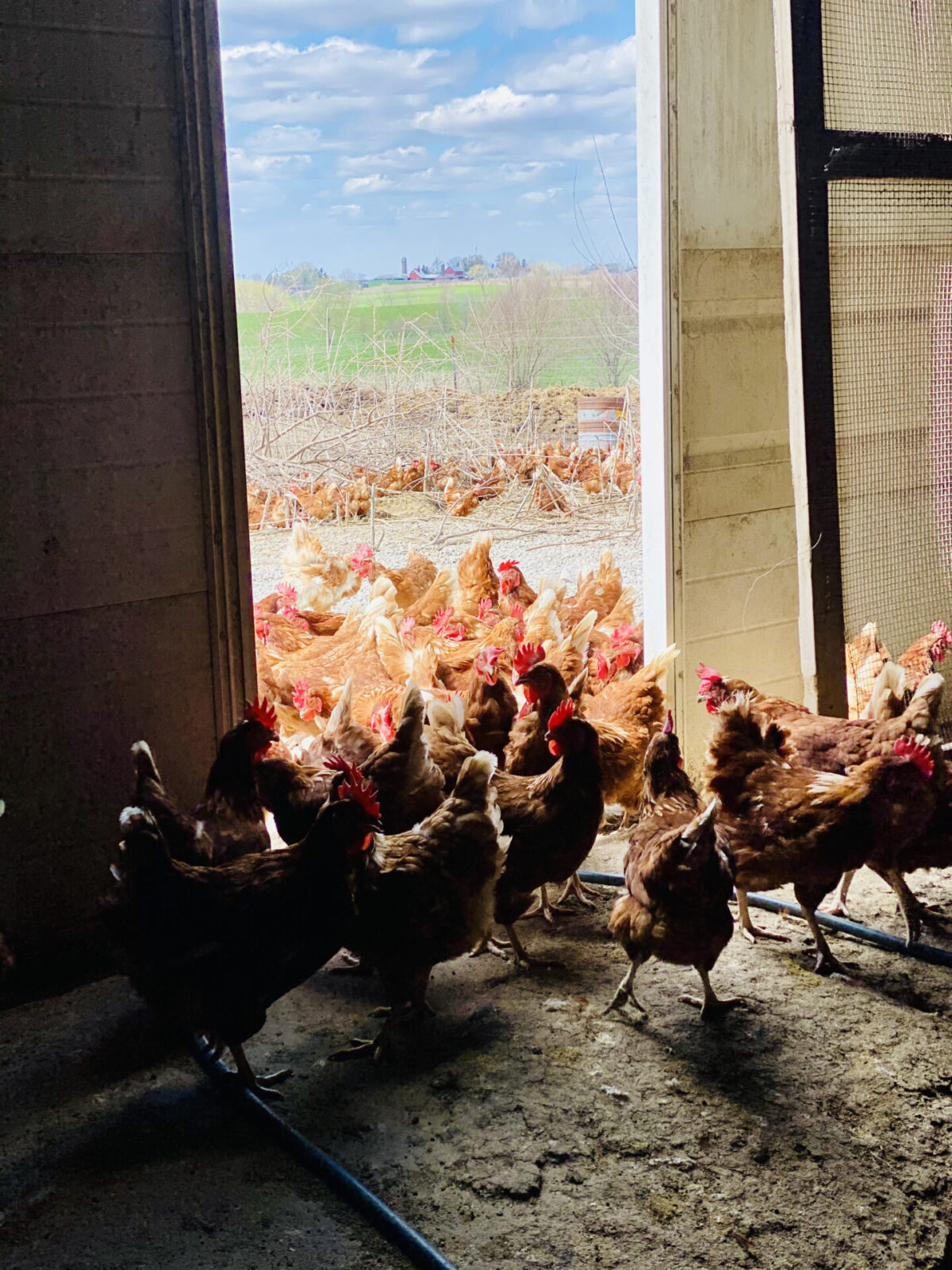 Hens going outside at the Edward M. Farm